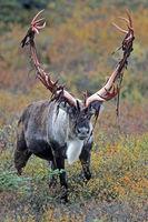 Karibu / Alaska-Karibu / Rentier / Karibubulle / Rangifer tarandus granti / Bastreste