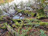 Toter bemooste Baum am Ufer eines Sees