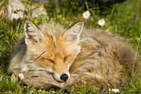 schlafender Gebirgsfuchs