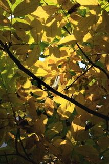 Herbst Blätterdach Walnußbaum