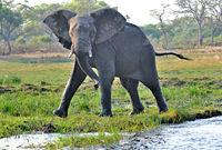 Warnung vom Elefantenbulle