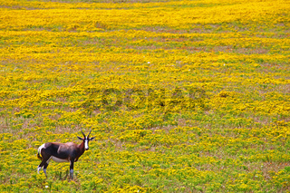 Buntbock im West Coast Nationalpark, Südafrika, Bontebok, West Coast National Park, South Africa