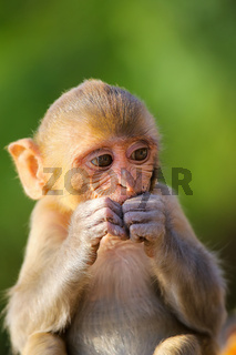 Portrait of Rhesus macaque eating