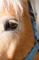 Portrait of a brown horse - detail photo
