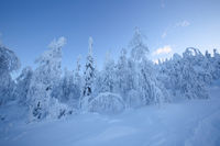 Snow covered trees in Lapland