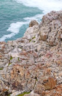 Klippschliefer auf der Klippe, Südafrika, Rock Dassie, South Africa