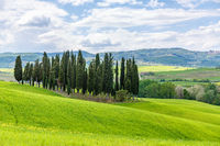 Cypress grove of trees in a rural Italian landscape