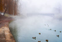 Wild ducks on a misty river