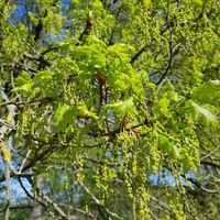Blüten und junge Blätter der Stieleiche, Quercus robur