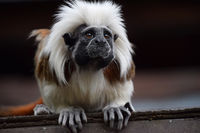 Cotton top tamarin sitting on rooftop