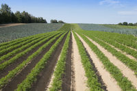 Karotten auf einem Feld