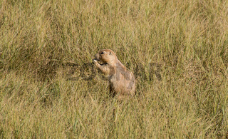 Hungry prairie dog