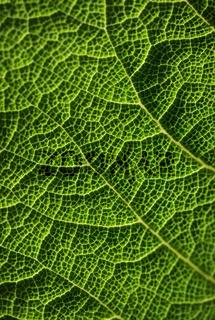 Green leaf, macro photo
