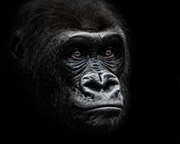 Western Lowland Gorilla IV