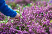 Picking up purple Loosestrife Flowers
