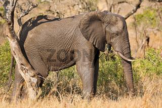 Elefant kratzt sich am Baum im Kruger Nationalpark Südafrika; african elephant scratching on a tree, south africa, wildlife