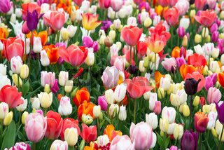 Beautiful field of colorful tulips.