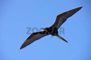 Fregattvogel im Flug, Galapagos, Ecuador