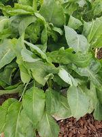 Gartenkresse, Lepidium Sativum, Heilpflanze