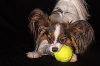 Beautiful dog Continental Toy Spaniel Papillon with a tennis ball on black background