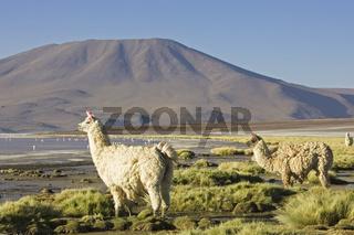 Lamas (Lama glama) in der Lagune Laguna Colorada