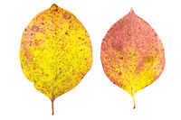set of two autumn leaves in different states of withering