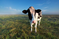cow on summer pasture in morning
