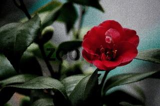 rote Kamelienblüte, Winterblüher