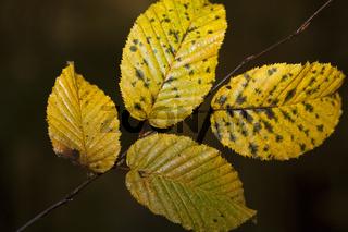 Hornbeamleaves in autumn