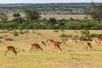 Herd of Impala antelope grazing on the savannah