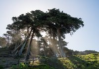 Sunbeams from large pine or fir trees on coast of San Francisco Bay