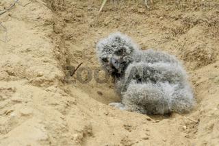 energisch... Europäischer Uhu *Bubo bubo*, Nestling in verzweifleter Lage (aus dem Nest gefallen)