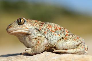 full length macro image of beautiful colored garlic toad ( Pelobates fuscus )