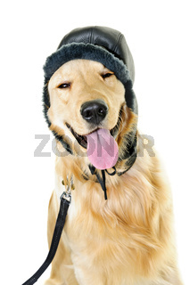 Golden retriever dog wearing winter hat