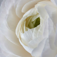 close up white rose flower background