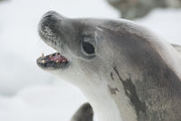 crabeater seal portrait with open mouth lying on ice floe
