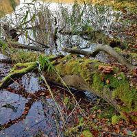Bemooster umgestürzter Baum am Seeufer