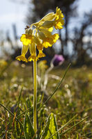 Close up at a Cowslip flower at spring