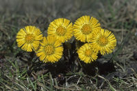 Gemeiner Huflattich (Tussilago farfara)