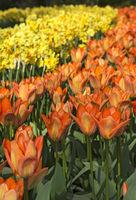 Rabatten von Tulpen und Narzissenblüten, Niederlande