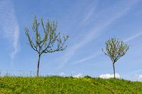 Zwei junge Obstbäume