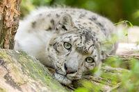 cat snow leopard - Irbis, Uncia uncia