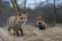 zu zweit... Rotfüchse *Vulpes vulpes* während der Ranzzeit