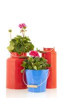 Pelargoniums for the garden