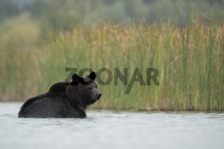 Abkühlung... Europäischer Braunbär *Ursus arctos*