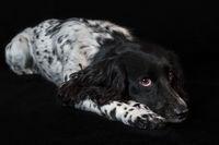 Beautiful female spaniel lies on black background