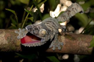 Giant leaf-tailed gecko, Uroplatus fimbriatus