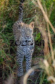 Young Leopard in between the grass.
