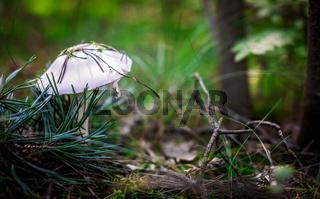 Beautiful small white mushroom