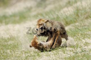 harter Kampf... Rotfüchse *Vulpes vulpes*